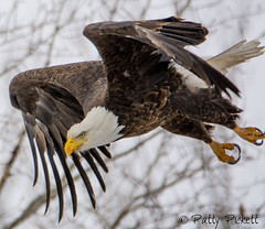 bald eagle (Pattys-photos) Tags: bald eagle pattypickett4748gmailcom pattypickett idaho