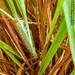 2012-07-07 TEC-7070053 Schizachyrium sanguineum - E.P. Mallory