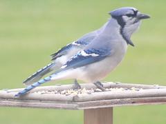 Blue jays (Cyanocitta cristata) (tigerbeatlefreak) Tags: blue jay cyanocitta cristata bird passeriformes corvidae nebraska
