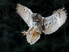 Oliver Great Horned Owl CRC IMG_4303 (Jennz World) Tags: ©jennifermlivick canadianraptorconservancy vittoria ontario canada greathornedowl owl raptor