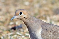 Mourning Dove Portrait (Anne Ahearne) Tags: wild bird animal nature widllife portrait closeup cute mourningdove songbird birdwatching bokeh eye