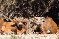 Buffle nain de forêt_151117_RAS (f.chabardes) Tags: mammifères aude réserveafricainesigean 2015 redbuffalo 4t bovinae languedoc novembre narbonnais bovidae bufflenaindeforêt france artiodactyles synceruscaffernanus animaux