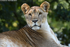 African lioness - Olmense Zoo (Mandenno photography) Tags: animal animals african lion lions lioness ngc nature natgeo animalplanet dierenpark dierentuin dieren bigcat big cat cats belgie belgium olmense olmensezoo olmen zoo