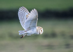 Barn owl (Yvonne Alderson) Tags: barn owl evening low light moorland durham co yvonne alderson hunting