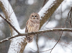 Feathered Flurries... (DTT67) Tags: barredowl owl canon1dxmkii 1dxmkii 500mmii 14xtciii canon raptor bird woodlands forest snow snowfall wildlife nature
