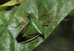 Edessa sp (tristanba) Tags: hemiptera pentatomidae