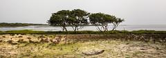 Lone trees 3 (Chamikajperera) Tags: pano landscape sri lanka mannar trees sand beach