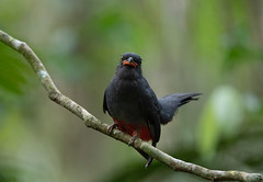 Panama (richard.mcmanus.) Tags: bird wildlife animal trogon slatytailedtrogon tropics panama centralamerica rainforest mcmanus soberanianationalpark