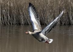 Greylag Goose 1 5 Mar 2019 (Tim Harris1) Tags: nikond7100 nikkor80400afs sculthorpemoor norfolk birds greylaggoose