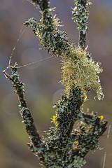 Baquiano Trail. Pacifica, CA. (j1985w) Tags: baquianotrail pacifica california rain raindrops tree lichen moss