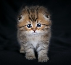 Persian Fold Kitten (dollfacepersiankittens.com) Tags: scottish fold persian kittens for sale doll face breeders photography pets animals felines
