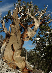 Kong (Bregalis) Tags: ancient bristlecone landscape longaeva great basin national park pine pinus range snake divide trail tree trees usa wild wilderness nature natural weathered wood wind ice snow elevation mt washington oldest living white mountains california currey schulman prometheus methuselah wheeler peak nevada anthropocene bonsai penjing greatbasinnationalpark kong gorilla