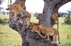 Happy Caturday (AnyMotion) Tags: lion löwe pantheraleo cub cubs young jung tree baum liontree 2018 anymotion morukopjes serengeti tanzania tansania africa afrika travel reisen animal animals tiere nature natur wildlife 6d canoneos6d