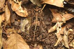 Common African toad, Ankasa Conservation Area in Ghana (inyathi) Tags: westafrica ghana africananimals toads amphibians commonafricantoad amietophrynusregularis sclerophrysregularis herpetology ankasaconservationarea africanwildlife nationalpark africa