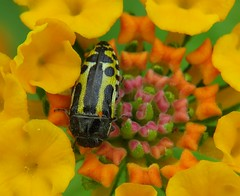 Burst of Color (HeidiG71) Tags: macro beetle buprestidae acmaeoderascalaris insect lantana flower wildlife nature texas riograndevalley alamonationalwildliferefuge