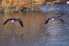 IMG_0313205 (Ashley Middleton Photography) Tags: coatewatercountrypark swindon animal bird canadagoose england europe goosegeese unitedkingdom wiltshire