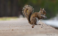 Gray Squirrel (Photography by Becky Winner) Tags: squirrel nature