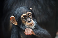 Kojo (Michael Döring) Tags: gelsenkirchen bismarck zoomerlebniswelt zoo schimpanse chimpazee kojo afs200mm20gvrii d850 michaeldöring