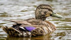 Duck duck go (Stefan Marks) Tags: anasplatyrhynchos animal bird duck mallard nature outdoor water aucklandwaitakere northisland newzealand nzl