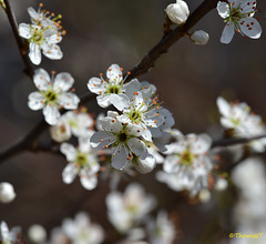 Frühlingserwachen im März (TitusT1960) Tags: rheinauen wald speyer pfalz rheinlandpfalz spring nature natureza natur frühling blüten
