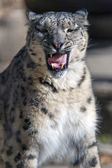 Snow leopard with open mouth and funny tongue (Tambako the Jaguar) Tags: snowleopard big wild cat sitting posing portrait face tongue openmouth yawning tired funny sunny basel zoo zolli switzerland nikon d5