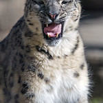 Snow leopard with open mouth and funny tongue thumbnail