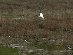 Great Egret with Black-necked Stilt on palustrine wetland (stonebird) Tags: greategret blackneckedstilt ballonawetlandsecologicalreserve areab palustrinewetland march img0019