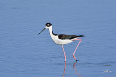 Black-necked Stilt (jt893x) Tags: 150600mm bird blackneckedstilt d500 himantopusmexicanus jt893x nikon nikond500 sigma sigma150600mmf563dgoshsms coth alittlebeauty thesunshinegroup ngc coth5