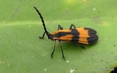 Net-winged beetle, Calopteron sp., Lycidae (Ecuador Megadiverso) Tags: andreaskay beetle calopteronsp coleoptera ecuador lycidae netwingedbeetle