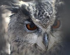 Zoo day (taylorwilkinsonblake) Tags: eyes zoo animal wildlife bird owl