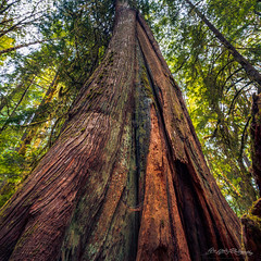 Elder Survivor (dan@propeakphotography.com) Tags: america colors famousplace forest green hohrainforest internationallandmark nps northamerica olympicnationalpark olympicpeninsula summer touristattraction traveldestination travelandtourism trees usa unitedstates washington yellow aoi elitegalleryaoi bestcapturesaoi 200faves pinnaclephotography