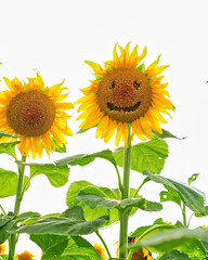 Sunflower Smile (Bill Fales Photography) Tags: sunflowers smile outdoors nature summer crop seeds agriculture farming kansas