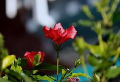IMG_914la que hace 500 imágenes subidas en un año y medio- (angelalonso4) Tags: canon eos 6d tamron sp 90mm f28 di vc usd macro11 f004 ƒ28 900 mm 11000 100 flor flower rojo red green