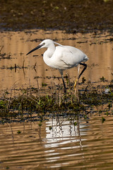 Little Egret #1 (cabalvoid) Tags: a7r3 a7riii wildlife nature water sony egret bird lincoln