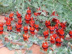 Sturt's Desert Pea, Alice Springs, Central Australia (SuzieAndJim) Tags: nature flower australian native australia central springs alice pea desert sturts