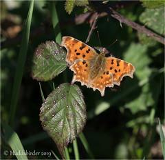 Comma (Huddsbirder) Tags: huddsbirder comma butterfly oldmoor fe70300mm sony a6500