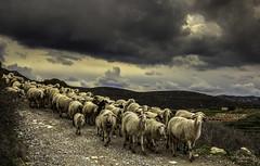 A5D_8950a The Long Walk Home (foxxyg2) Tags: sheep flocks farming agriculture cloude sky naxos cyclades greece greekislands islandhopping islandlife