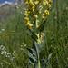 Verbascum lychnitis (White Mullein)