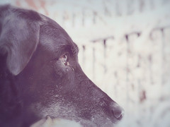 Photo Series: Pets: He's looking for something... (Ken Whytock) Tags: dog titus profile headshot pet blackdog drumbo