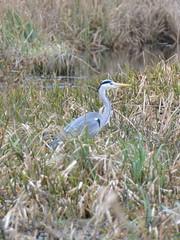 Grey Heron in the reedbed (Kirkleyjohn) Tags: heron reeds norfolk norfolkbroads broads eastanglia birds