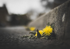 Survival (Matthew Johnson1) Tags: colour dof dandilion determined growth nature opportunist path pavement persistence road shallow survival weed yellow
