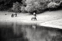 Silence (czuerbig) Tags: outside canoneos3 canonef8020028 ilforddelta100 ei100 horses water ilfotecddx 14 20°c 10min