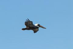 IMG_8529 (PyL06) Tags: pélican brun plage de la chapelle ansebertrand grandeterre guadeloupe gwada oiseau bird vol animal animalière