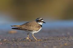 Corriere piccolo (mauro.santucci) Tags: corrierepiccolo uccelli uccello bird avifauna natura birdwatching wildlife wild