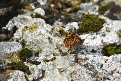 Lasiommata megera (esta_ahi) Tags: huesca lasiommata megera lasiommatamegera mariposa papallona butterfly nymphalidae lepidoptera insectos fauna hozdebarbastro somontano somontanodebarbastro aragón spain españa испания