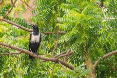 UN CORVO BIANCONERO   ---   A BLACKWHITE CROW    ----    EXPLORE (Ezio Donati is ) Tags: uccelli birds animali animals alberi trees verde green natura nature westafrica costadavorio abidjan lagunesarea