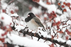 Dark-eyed Junco, Junco hyemalis (jlcummins) Tags: snow winter fruit berries tree bird juncohyemalis oregonjunco darkeyedjunco yakimacounty