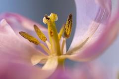 Pastel Tulip for Macro Monday (VintageLensLover) Tags: macromondays makroaufnahme macro tulips tulpen hmm pastels natur outdoor bokeh dof schärfentiefe schärfeverlauf bokehlicious bokina tokina90mm