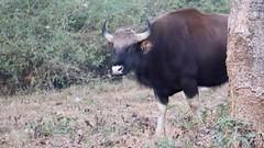 Gaur reveals herself (Nagarjun) Tags: gaur indianbison herbivore wildlife animal fauna nagarholenationalreserve riverkabini karnataka