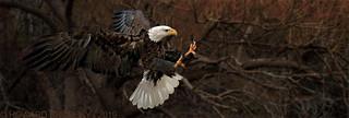 Bald Eagle at dawn.....Reddish-Bro wn Rembrandt background pre spring hues. :-))